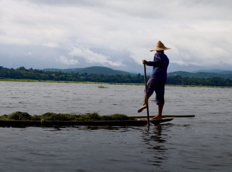 Fisher harvesting aquatic plants on Inle Lake, Myanmar.