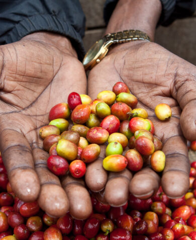 hands holding red and yellow coffee beans